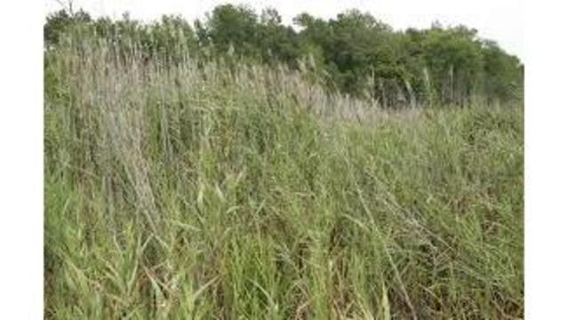 How can I get Wiregrass out of my yard?